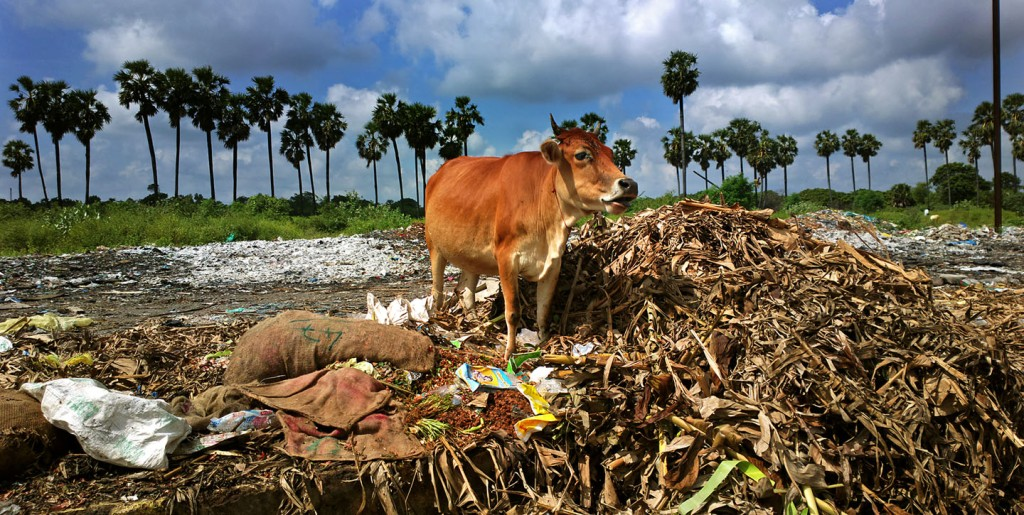 Cow foraging in mixed municipal solid waste illegally dumped beside Pondicherry's truck terminal