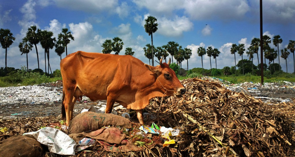 Cow foraging in municipal solid waste at Pondicherry's truck terminal